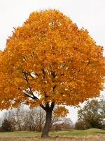 Autumn_Tree_1